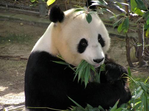 большая панда ест листья