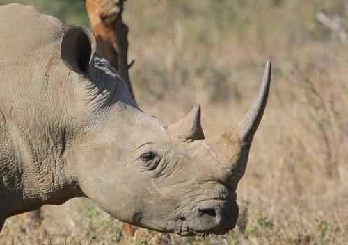 белый-носорог