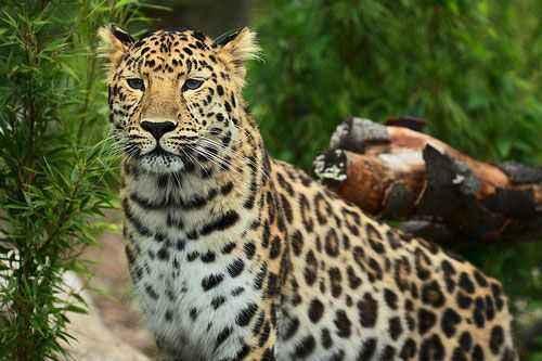 Дальневосточный (амурский) леопард - красивый и редкий зверь. Дальневосточный леопард – величественная таежная кошка Дальневосточный амурский леопард презентация