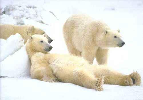 Belyj-medved Медведь белый - это... Что такое Медведь белый?