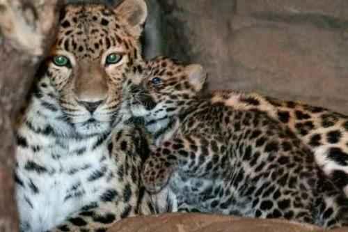 фото мать и детеныш амурского леопарда