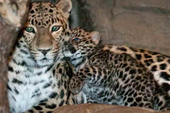 Дальневосточного леопарда картинки 3
