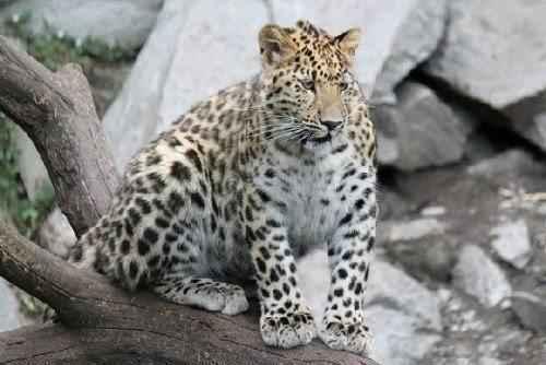 амурский леопард на дереве