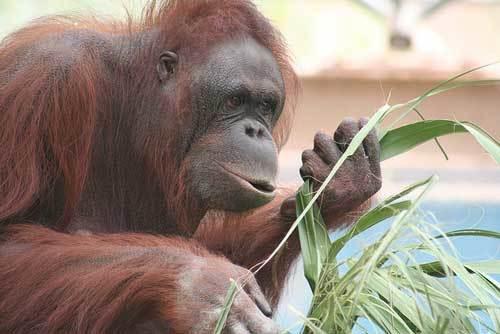 Борнейский вид орангутанов