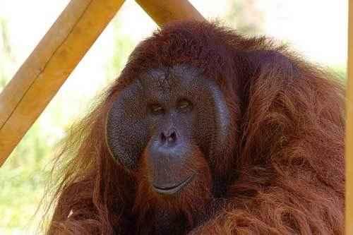 Фланцевый самец орангутана