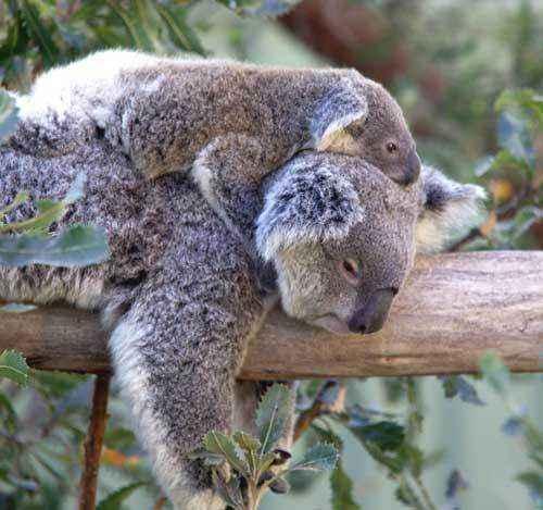 коала с детенышем на дереве