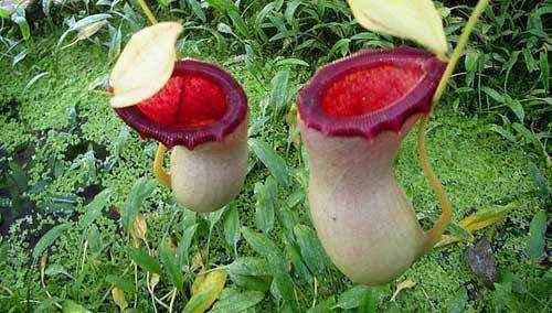 Непентес Аттенборо, растение
