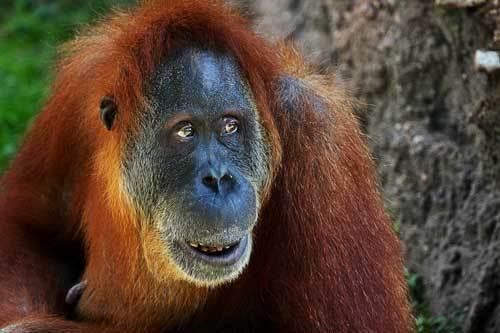 Чем питается орангутан