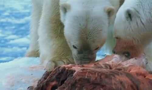 белые медведи едят мясо
