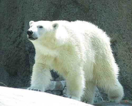 poljarnuj-medved'