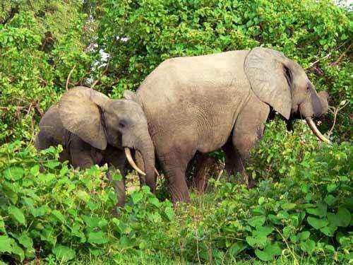 Слониха со слоненком