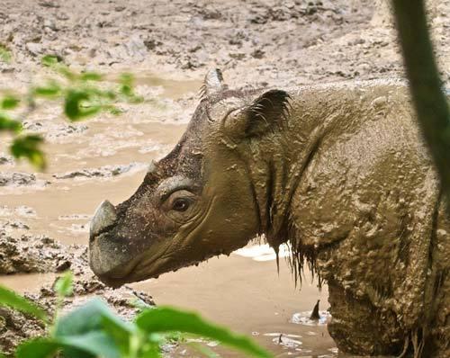 суматранский носорог принимает грязевые ванны