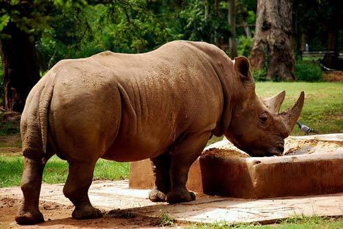 суматраский носорог обедает