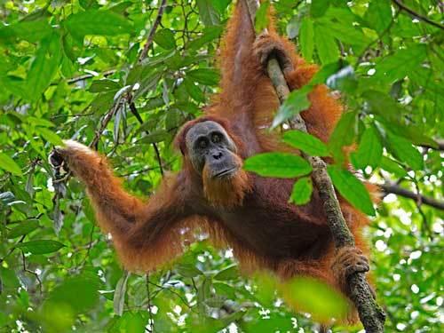 Суматранский вид орангутанов