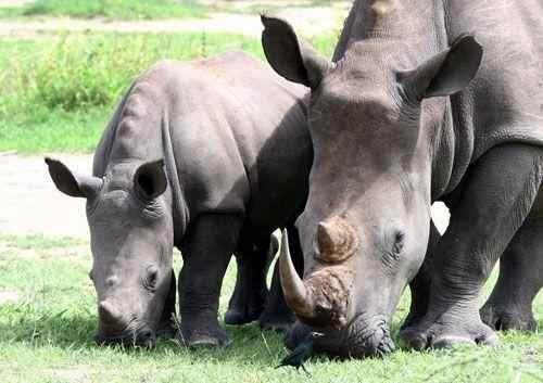 Мама и детеныш белого носорога щиплят травку