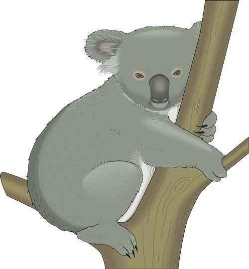 коала на дереве