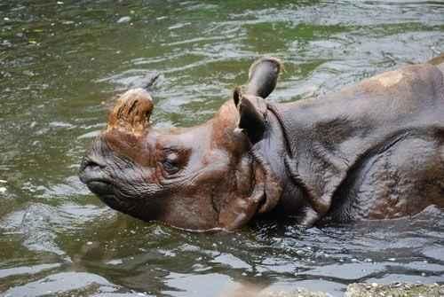 Индийский носорог делает водные процедуры