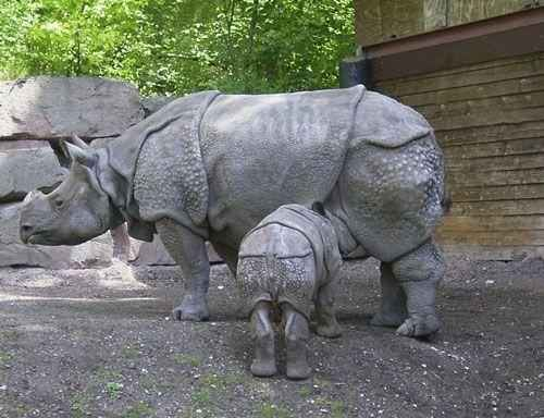 javanskij-nosorog