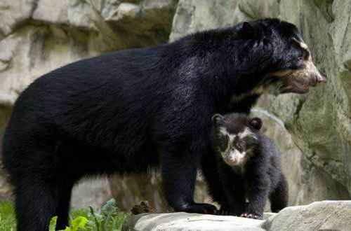 самка очкового медведя с детенышем