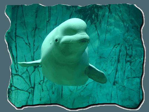 белуха, кит