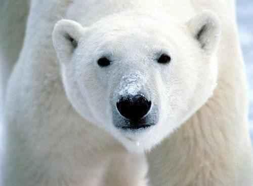 beluj-medved'