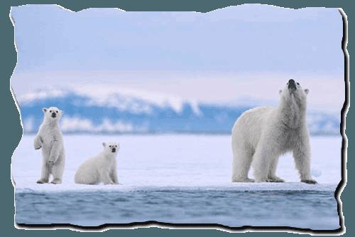 белый медведь, полярный медведь, медвежата, на льду, возле воды,