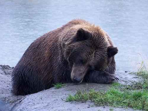бурый медведь спит