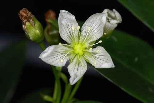 Цветок венериной мухоловки