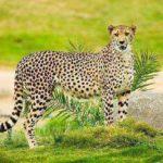 Хищное млекопитающее семейства кошачьих
