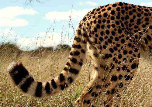 хвоста гепарда