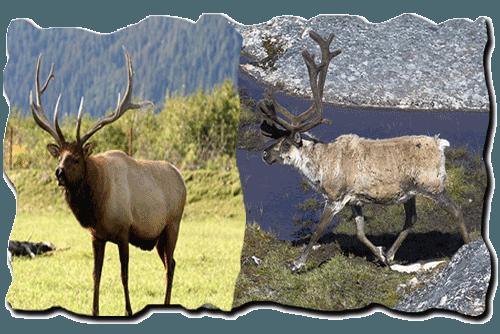 лось и северный олень