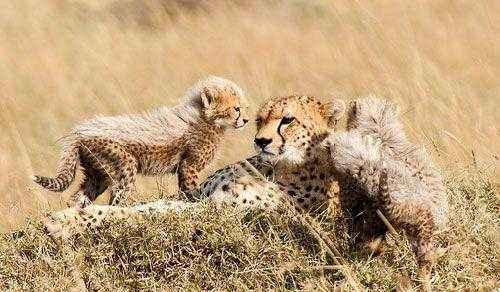 самка гепарда с котятами