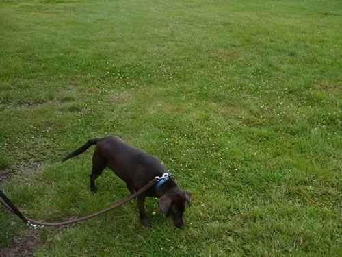 собака нюхает траву