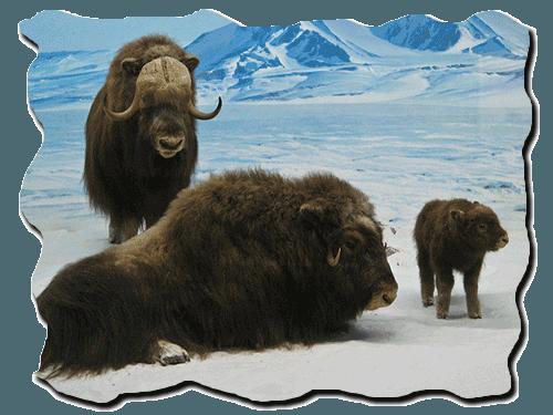 овцебыки, мускусные быки, теленок, снег, горы,