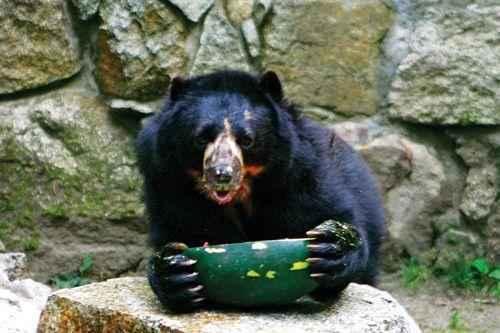 питание очковых медведей