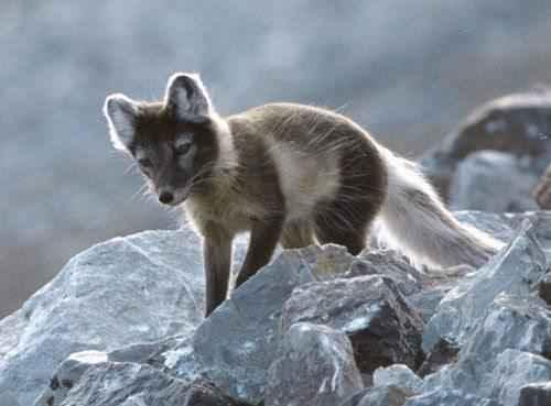 Полярная лисица или песец обыкновенный во время линьки