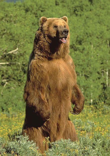 бурый медведь стоит на задних лапах
