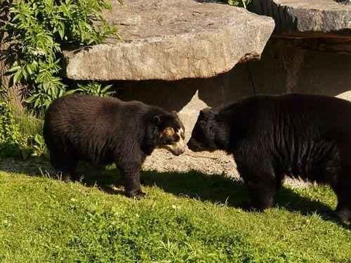 пара очковых медведей