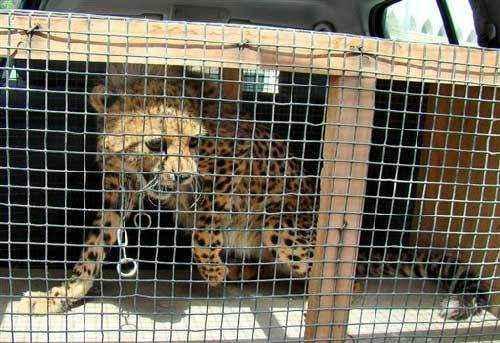 фото детеныша гепарда в клетке