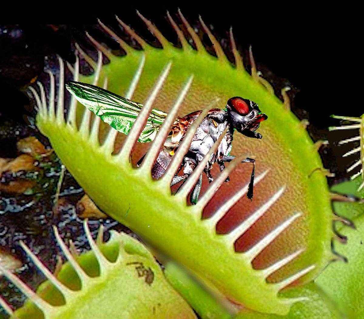 Хищное растение венерина мухоловка