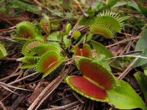 Плотоядные растения - виды, названия, питание, описание и фото 9