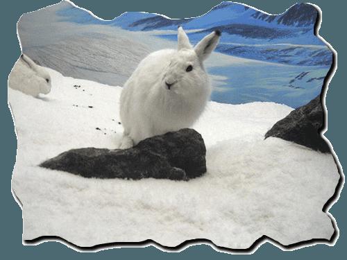 белый заяц, на снегу