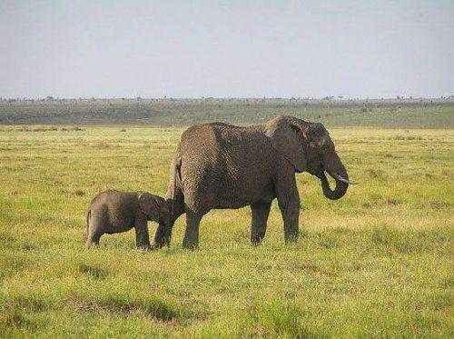 самка африканского слона со слоненком