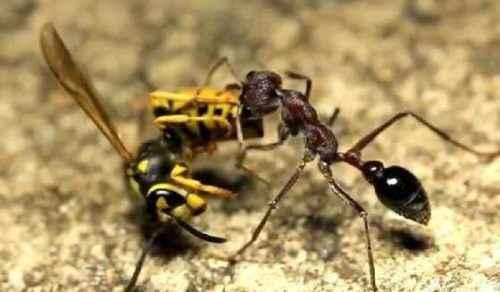 муравей-бульдог ест осу