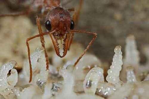 фото личинок муравьев-бульдогов