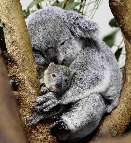 "<img width=""560"" height=""611"" alt=""Коала c детенышем"" src=""https://natworld.info/wp-content/uploads/2014/09/koala-razmnogenie.jpg"">"