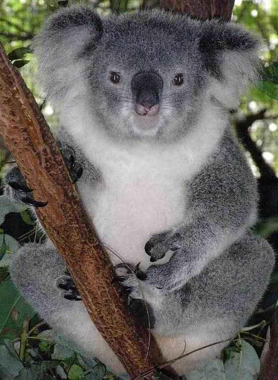 "<img width=""560"" height=""766"" alt=""Коала"" src=""https://natworld.info/wp-content/uploads/2014/09/koala-vid.jpg"">"