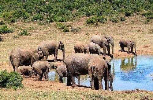 стадо слонов на водопое