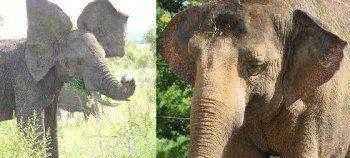 уши африканского и азиатского слона