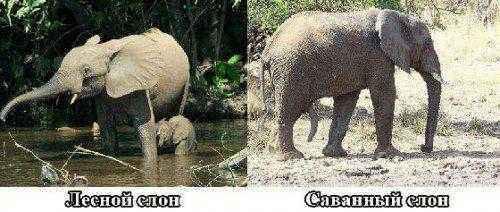 саванный и лесной слоны